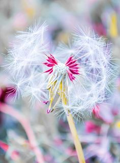 Pink Dandelion Art Print by Parker Cunningham. All prints are professionally printed, packaged, and shipped within 3 - 4 business days. Choose from multiple sizes and hundreds of frame and mat options. Dandelion Art, Thing 1, Canvas Prints, Art Prints, Canvas Art, Back To Nature, Art For Sale, Fine Art America, Nature Photography