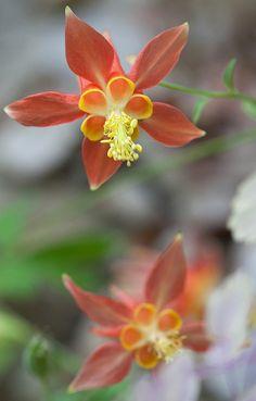 aquilegia, Botanic Garden Wales.