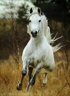 Arabian by Dosator (SU) {Murmansk x Pipinka by Pesniar}