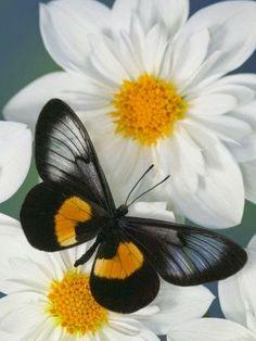 Miyana Meyeri Butterfly