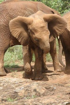 The David Sheldrick Wildlife Trust    Quanza has settled in so well at the Nursery, which is wonderful, especially given the terrible circumstances of her rescue.