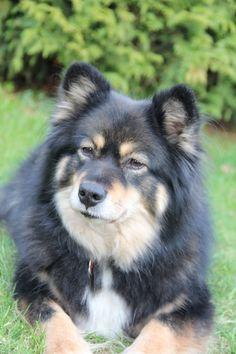 Silja.....komt van een andere fokker...is onze eerste Finse Lappenhond ....Elly Brugman