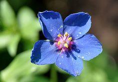 Анагаллис, очный цвет