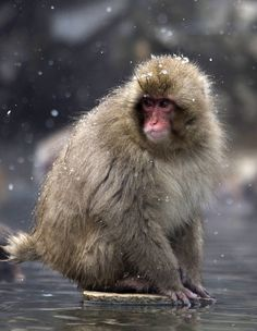 Macaque Monkeys Bathe in Hot Spring in Japan: Pictures