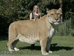 Liger - Hybrid Cross Animal   Most Beautiful Pages