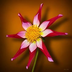Midnight Star Dahlia | by ChristopherLeeHewitt (Away)
