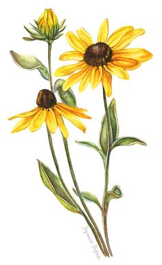 Rudbeckia Wildflowers, botanical watercolor illustration by illustrator Josianne Dufour. Abstract Watercolor, Watercolor Illustration, Watercolor Flowers, Watercolor Paintings, Simple Watercolor, Tattoo Watercolor, Watercolor Animals, Watercolor Landscape, Watercolor Techniques
