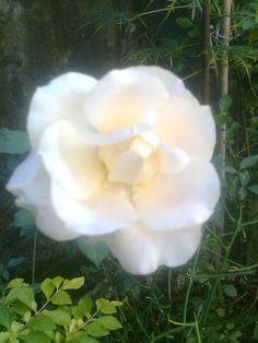Minha rosa branca.