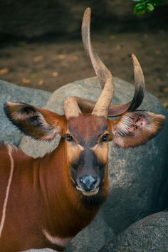 Wild creatures, all gods creatures, viewing wildlife, my animal, animal fac Beautiful Creatures, Animals Beautiful, Cute Animals, Wild Animals, Animal 2, Animal Faces, Animals With Horns, Indestructable Dog Bed, Viewing Wildlife