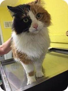 Monroe, MI - Domestic Longhair. Meet Dolce, a cat for adoption. http://www.adoptapet.com/pet/13787769-monroe-michigan-cat