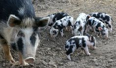 The Ossabaw Island hog is a rare breed that lives on Ossabaw Island off the coast of Georgia. The hogs are descendants of Spanish pigs that Spanish sailors brought to the New World more than 400 years ago.
