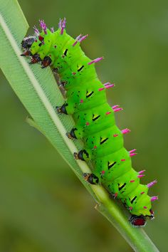 Giant silk moth caterpillar it doesn't sting but it's prickly I can Be a good raising caterpillar In a cage Beautiful Bugs, Beautiful Butterflies, 4k Photography, Caterpillar Insect, Butterfly House, A Bug's Life, Beetle Bug, Bugs And Insects, Mundo Animal