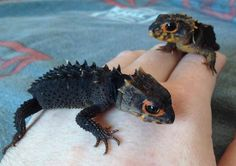 RED EYED CROCODILE SKINKS. It's a baby toothless