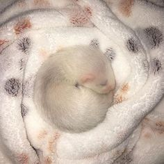 """227 Likes, 8 Comments - Ferret Videos Daily ❤️ (@ferretvideos) on Instagram: """"Baby Ferrets are just too cute Credit: @choxstheferret """""""