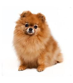 The Pomapoo, Pomchi, and Maltipom are some of the many cute Pomeranian Mixes. The POMAPOO is a designer breed that is a cro Pomeranian Breed, Cute Pomeranian, Pomeranians, Spitz Type Dogs, Most Cutest Dog, Cute Dogs Breeds, Most Popular Dog Breeds, Getting A Puppy, Kinds Of Dogs