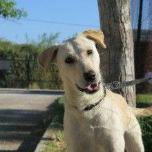 We search for forever families in the UK to adopt Spanish stray rescue dogs that have been rescued from the streets of Spain Stray Dog, Rescue Dogs, Labrador Retriever, Spanish, Animals, Labrador Retrievers, Animales, Animaux, Spanish Language