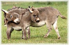 Miniature donkeys originated in the Mediterranean area of Northern Africa in ...  firstmainlanddonkeyandmuleclub.webs.com