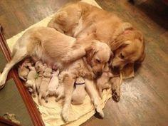 Casal de cachorros labradores e seus recém-nascidos filhotes.