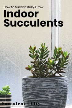 Succulents are perfect plants to grow indoors-- they need little care, but lots of love! Here's the guidance you need on caring for these versatile plants. Succulent Gardening, Succulent Care, Succulent Terrarium, Container Gardening, Hanging Succulents, Hanging Planters, Indoor Succulents, Zebra Plant, Growing Plants Indoors