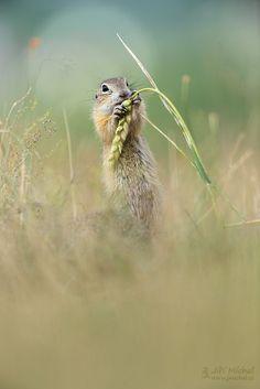"European Ground Squirrel - See my website: <a href=""http://www.jmichal.cz"">www.jmichal.cz</a>"