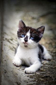 Gorgeous blue eyes of cute black and white kitty...