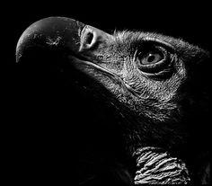 Intense vulture stare.