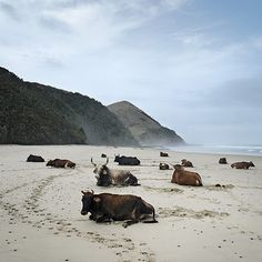 Xhosa cattle on an Eastern Cape beach. BelAfrique - your personal travel planner - www.BelAfrique.com
