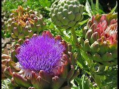 Así de sano y natural son los beneficios de la Alcachofa para vivir mejo...