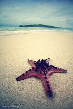 Chocolate Chip Starfish..we use to have one of these in our saltwater tank! :))