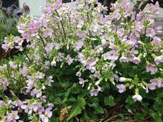 Kaukasianpitkäpalko Arabis caucasica / fagertrav. Kukkii touko-kesä. Lähilajit ja lajikkeet: 'Plena', 'Schneehaube'  Kuvaus: Lehdistö 15 cm, kukinto 20 cm. Mattomainen kasvutapa, ikivihreä. Soikeat, isohampaiset lehdet ovat sinivihreitä ja harmaanukkaisia, kasvavat ruusukkeena. Runsaskukkaiset kukkatertut. Tuoksuvat, neliterälehtiset kukat valkoiset, muistuttavat omenan kukkaa. Leviää rönsyillä. Kasvi on nopeakasvuinen ja helppohoitoinen. Kutsutaan myös nimellä mäkien pitkäpalko.
