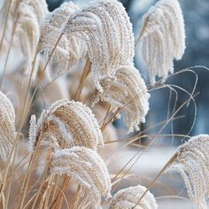 Maiden Grass in the winter