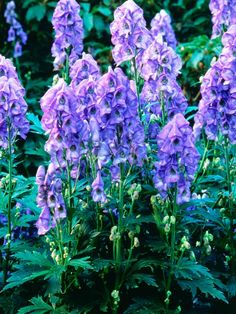 The best plants for a cottage garden are simple varieties that haven't been highly bred. Plants such as anemones and golden marguerite create loose arrangements, while the tall spires of lupines and hollyhocks provide structure.