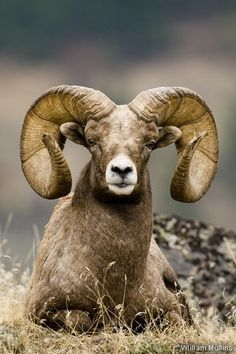 Rocky Mountain Bighorn Sheep |nature| |wild life| #nature #wildlife https://biopop.com/
