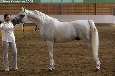 Arabian stallion Mohaned Al Shaqab