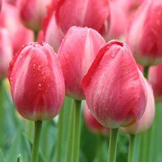Tulip 'Judith Leyster'