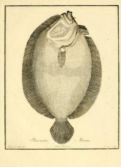 Ichthyologia sistens piscium descriptiones et icones. - Biodiversity Heritage Library