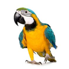 Parrot For Sale or Adoption Advance Fee Scams