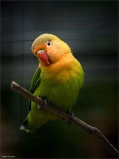 ♡ Lovebirds ♡