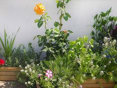 Garden Design Com gardendesigncom Antigone Rose In A Container More Pictures Here Httpflower Garden