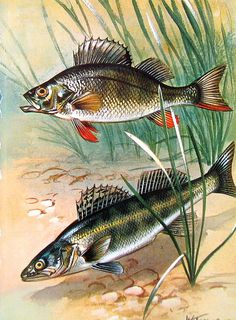 Fish Print - Perch - 1973 Vintage Fish Print - Book Page from Encyclopedia Wildlife Paintings, Wildlife Art, Fish Drawings, Animal Drawings, Bass Fishing Pictures, Different Fish, Fish Wallpaper, Fishing Photography, Kunst Poster