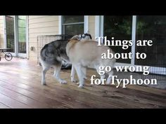Throwback Thursday video time! The slow motion ending to Typhoon's wrestling match - not as expected! #dogs #siberianhusky #husky #video