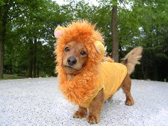 Thinking about Halloweenie -- Simba the Lion King Costume. just adorable, this pup...!