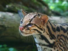 Maroni l'ocelot (by Ocelot, Small Wild Cats, Big Cats, Wild Cat Species, Exotic Cats, Cheetahs, Leopards, Cat Day, Animals Beautiful