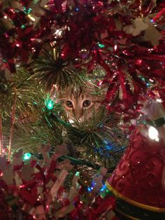 Kitten in a Christmas tree-Adorable