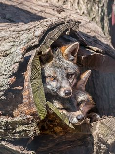 Grey Foxes in a hollow log by John Sinclair on Animals And Pets, Baby Animals, Funny Animals, Cute Animals, Cute Creatures, Beautiful Creatures, Animals Beautiful, Wild Life, Malamute
