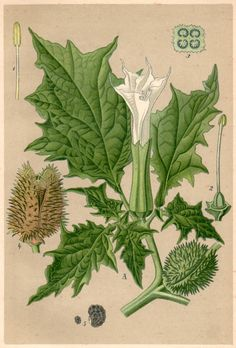 1901 Devil's Snare Botanical Print Datura by Craftissimo on Etsy