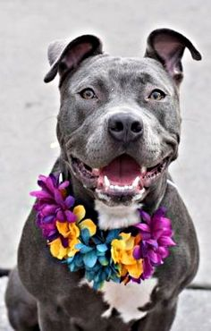 RETURN 11/19/16 NO ANSWER --- SAFE 7/26/16 --- Brooklyn Center LUPE – A1080710 FEMALE, GRAY / WHITE, STAFFORDSHIRE MIX, 1 yr STRAY – STRAY WAIT, HOLD FOR ID Reason STRAY Intake condition UNSPECIFIE Intake Date 07/10/2016 http://nycdogs.urgentpodr.org/lupe-a1080710/