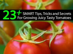 23 + Smart Tips Tricks and Secrets For Growing Juicy Tasty Tomatoes