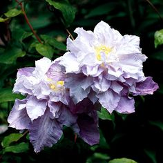 \'Veronica\'s Choice\' clematis Clematis \'Veronica\'s Choice\' bears large, semidouble lavender-pink flowers that fade to nearly white. It blooms from early to late summer and climbs to 10 feet. Zones 5-8 Clematis - Plant Encyclopedia - BHG.com