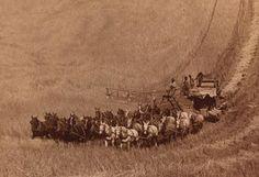 Percheron's working in the 1900's.